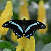 Butterfly Blue Striped Poster