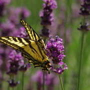 Butterfly In Lavender Poster