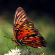 Butterfly In Orton Poster