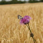 Butterfly In Wheat Field Poster