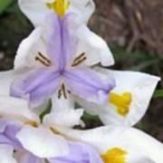 Butterfly Iris Poster