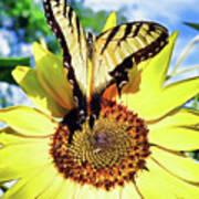 Butterfly Meets Sunflower Poster
