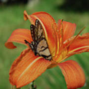 Butterfly On A Blooming Orange Daylily Flower Blossom Poster