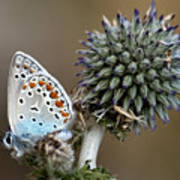 butterfly on a Echinops adenocaulon Poster
