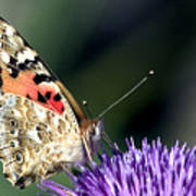 butterfly on a Silybum marianum I Poster