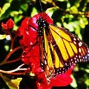 Butterfly On Bougainvillea Poster