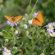 Butterfly On Fleabane #2 Poster