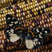 Butterfly On Indian Corn Poster