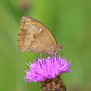 Butterfly On Knapweed Poster
