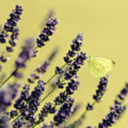 Butterfly On Lavender Flowers Poster
