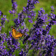 Butterfly On Lavender Poster