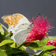 Butterfly On Magenta Flower Poster