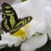 Butterfly On Orchid Poster