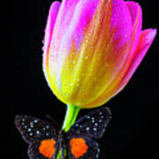Butterfly On Yellow Pink Tulip Poster