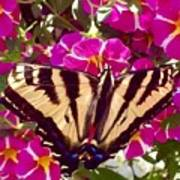 Swallowtail Butterfly Pink Poster
