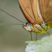 Butterfly Portrait Poster