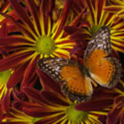Butterfly Resting On Chrysanthemums Poster