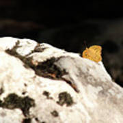 Butterfly Standing On Rock Poster
