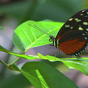 Butterfly1 Poster