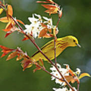 Buttery Yellow Warbler Poster