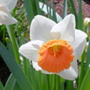 Button Daffodil Poster