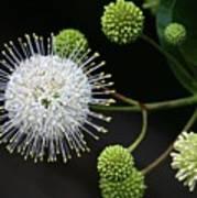 Buttonbush Flowers Poster