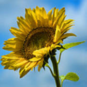 Buttonwood Sunflower 2 Poster