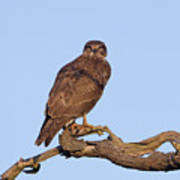 Buzzard In Tree Poster