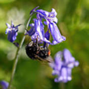 Buzzy Bee On Bluebells Poster