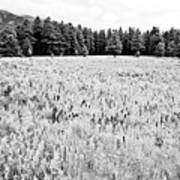 Bw Meadow Poster