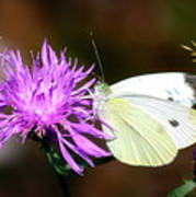 Cabbage Butterflies On Spotted Knapweed Poster