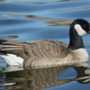 Cackling Goose Poster