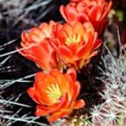 Cactus Bloom 033114j Poster