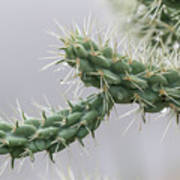 Cactus Branch With Wet White Long Needles Poster