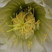 Cactus Flower Macro Poster