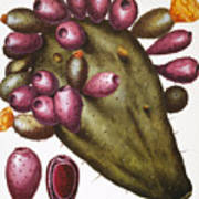 Cactus: Opuntia, 1613 Poster