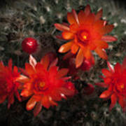 Cactus Red Flowers Poster