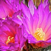 Cactus-thelocactus Macdowellii Poster