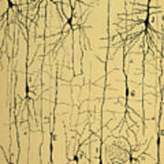 Cajal Drawing Of Microscopic Structure Of The Brain 1904 Poster