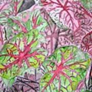 Caladiums Tropical Plant Art Poster