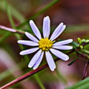 Calico Aster Poster
