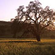 California Hwy 25 Oak Poster