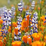California Poppies And Lupine Wildflowers Poster