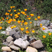 California Poppies Photograph Poster