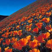 California Poppies Quartz Hill Poster
