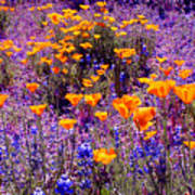 California Poppy And Lupin Poster