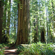 California Redwood Forest Trees Art Prints Poster