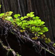 California Redwoods 4 Poster