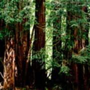 California Redwoods Poster