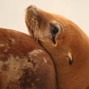 California Sea Lion Pup Resting Against Mother Poster by Max Allen